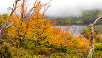 Fagus time at Cradle Mountain